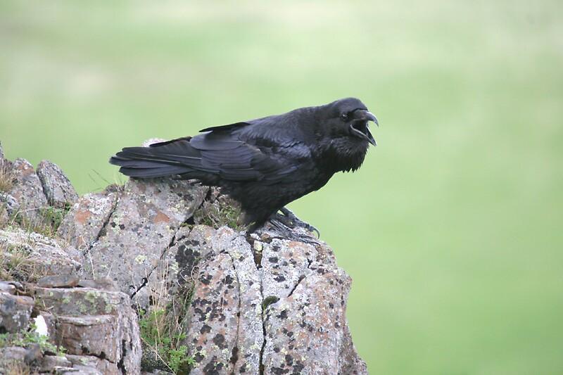 Raven by Dolli
