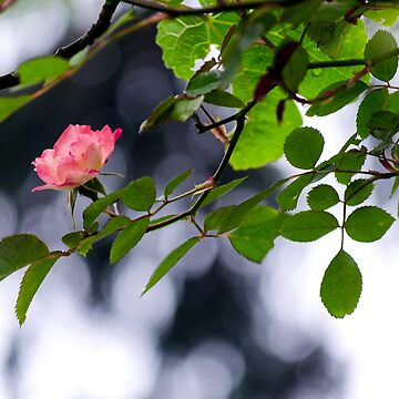 Spring Morning Rose by rachelallison