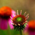 Cone Flowers by Bill Morgenstern