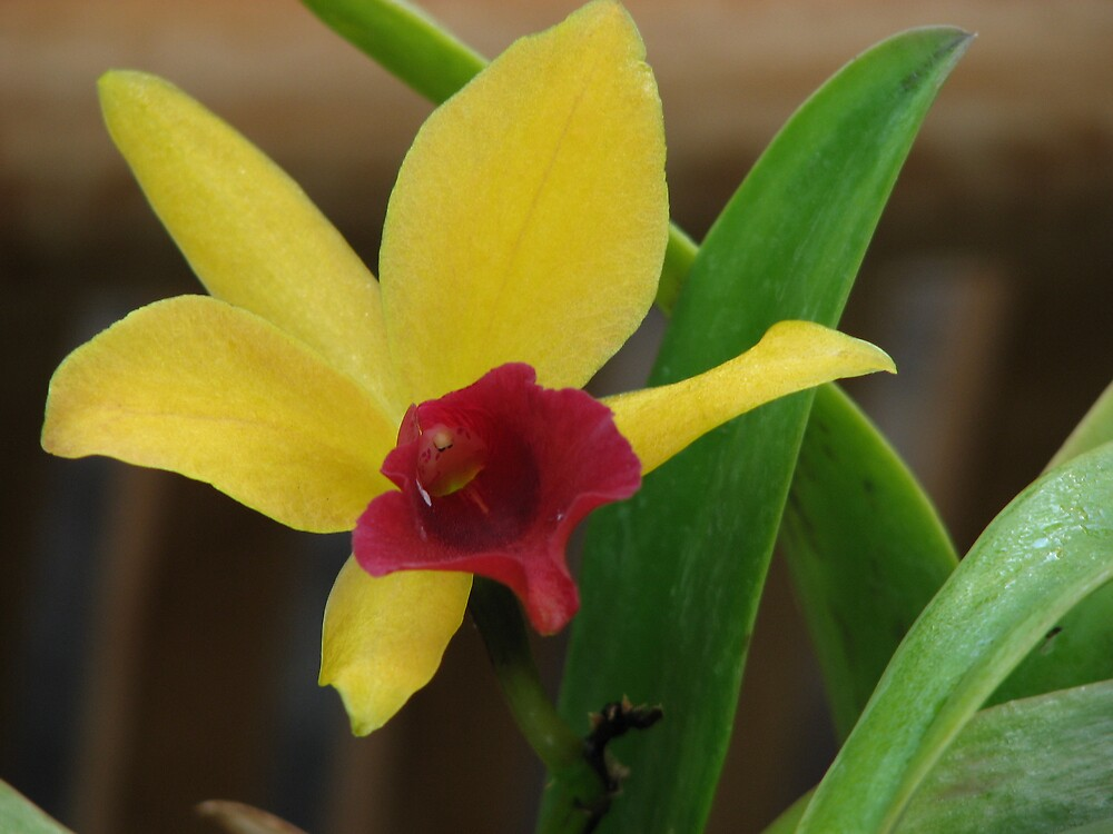 Yellow Orchid by IndyLady
