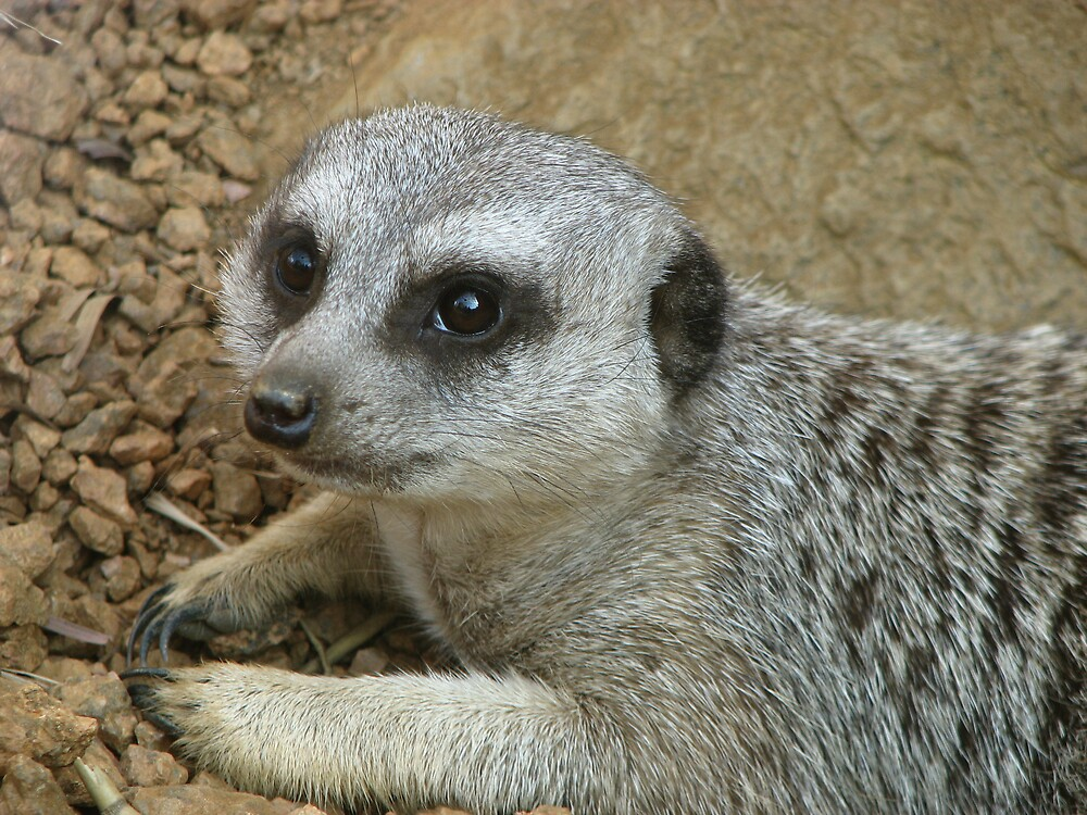 Meerkat by IndyLady