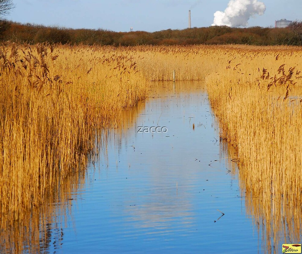 golden reed by zacco