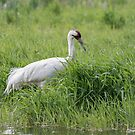 Whooping Crane 2017-8 by Thomas Young