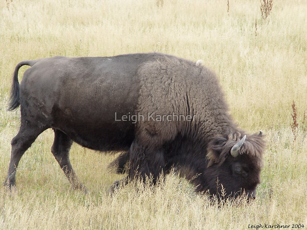 BUFFALO GRAZING by Leigh Karchner