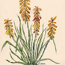 Kniphofia (Red Hot Poker) by Maree Clarkson