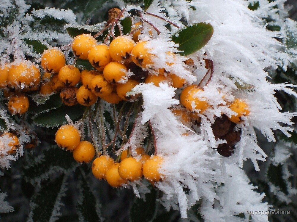 white frost and orange berries by wespenspinne