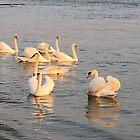 Danube swans by Ana Belaj
