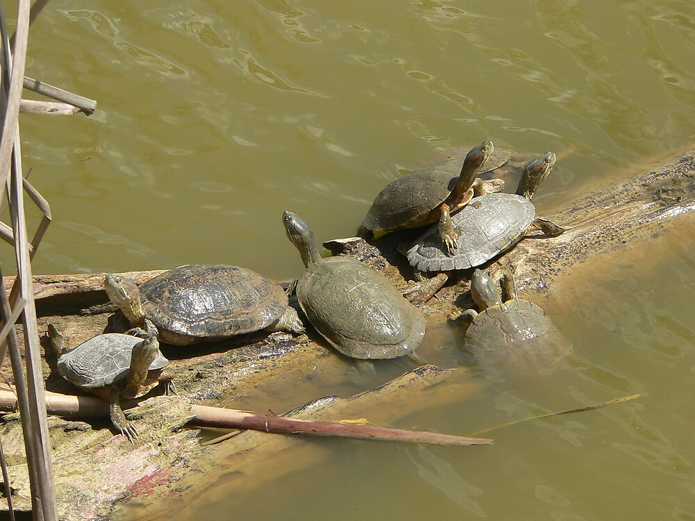 turtles by sptanner69