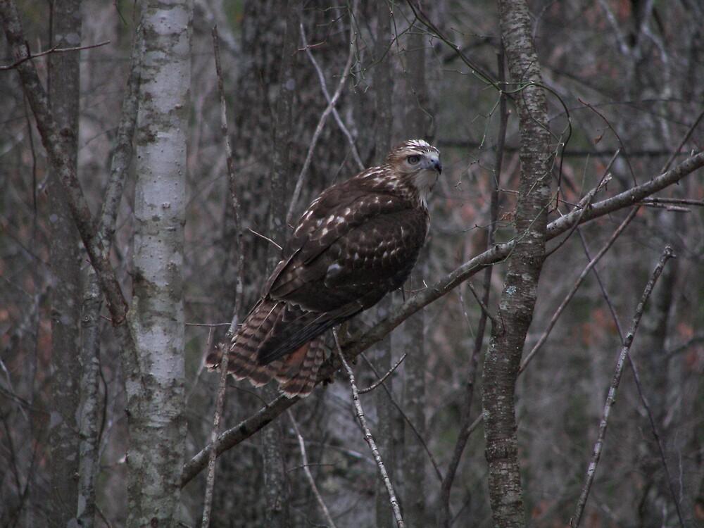 Hawk by Kelli Short