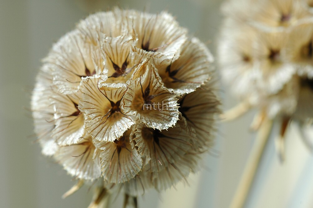 scabiosa flower by mtths