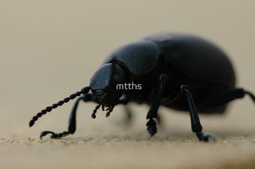 black calosoma beetle by mtths
