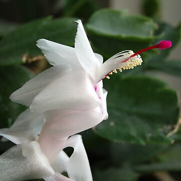 christmas cactus bloom 2 by FuntasticFinds