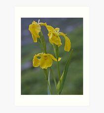 Yellow Flag Iris - Donegal Art Print