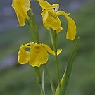 Yellow Flag Iris - Donegal by George Row