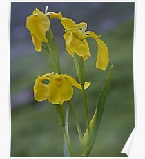 Yellow Flag Iris - Donegal Poster
