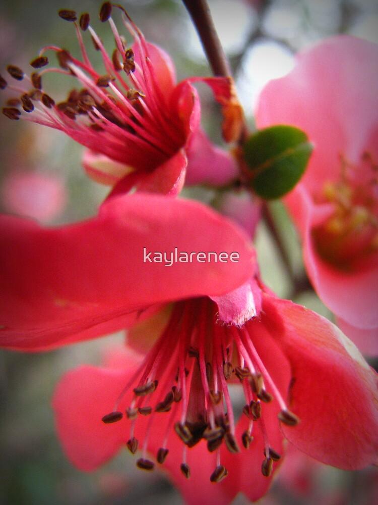 Cherry Blossom by kaylarenee