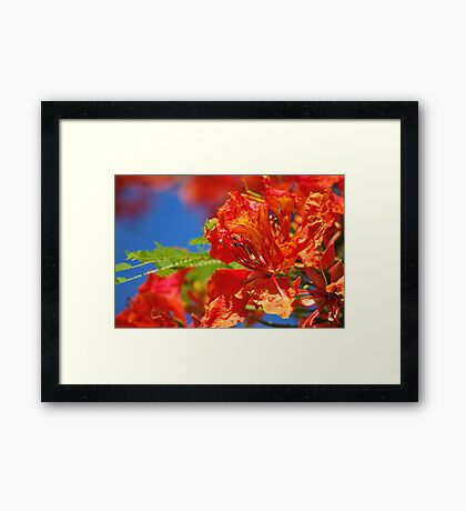 Red Flamboyant Flowers  Framed Print