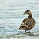 American black duck by AlRobinson