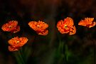 Wild poppies by LudaNayvelt