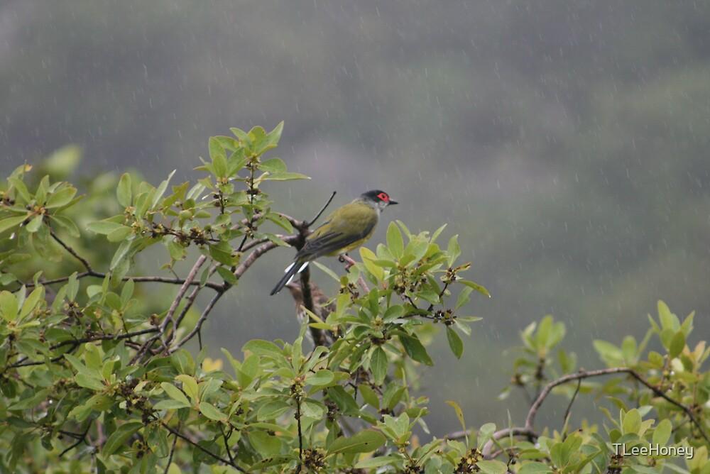 Male Figbird by TLeeHoney
