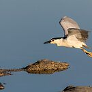 Black-crowned Night Heron 2017-4 by Thomas Young