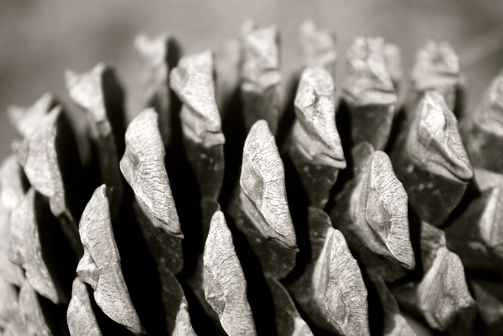 Pine cone in detail by MjrGDesign