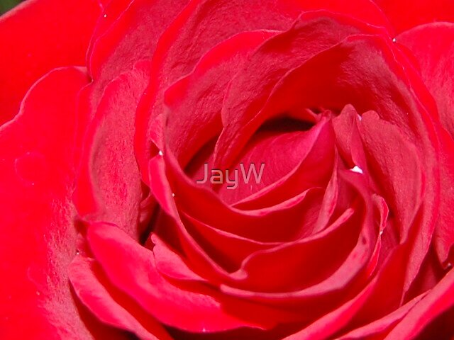 Rose Part 2 by JayW