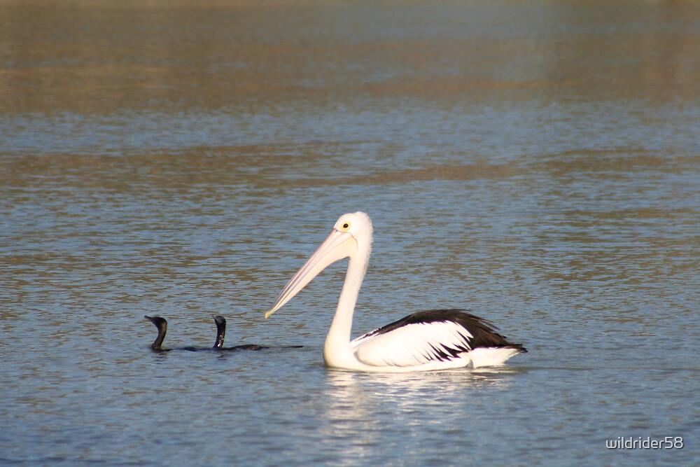 Pelican & Friends by wildrider58