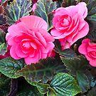 Begonia Beauty  by Sandra Foster
