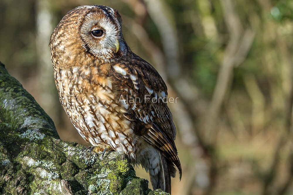 Tawney Owl by Alan Forder