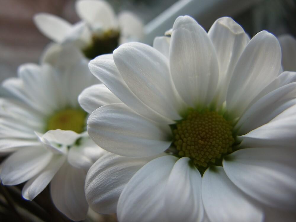 Daisys by Gemma27
