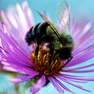 Bumble Bee -- Fall Aster by T.J. Martin