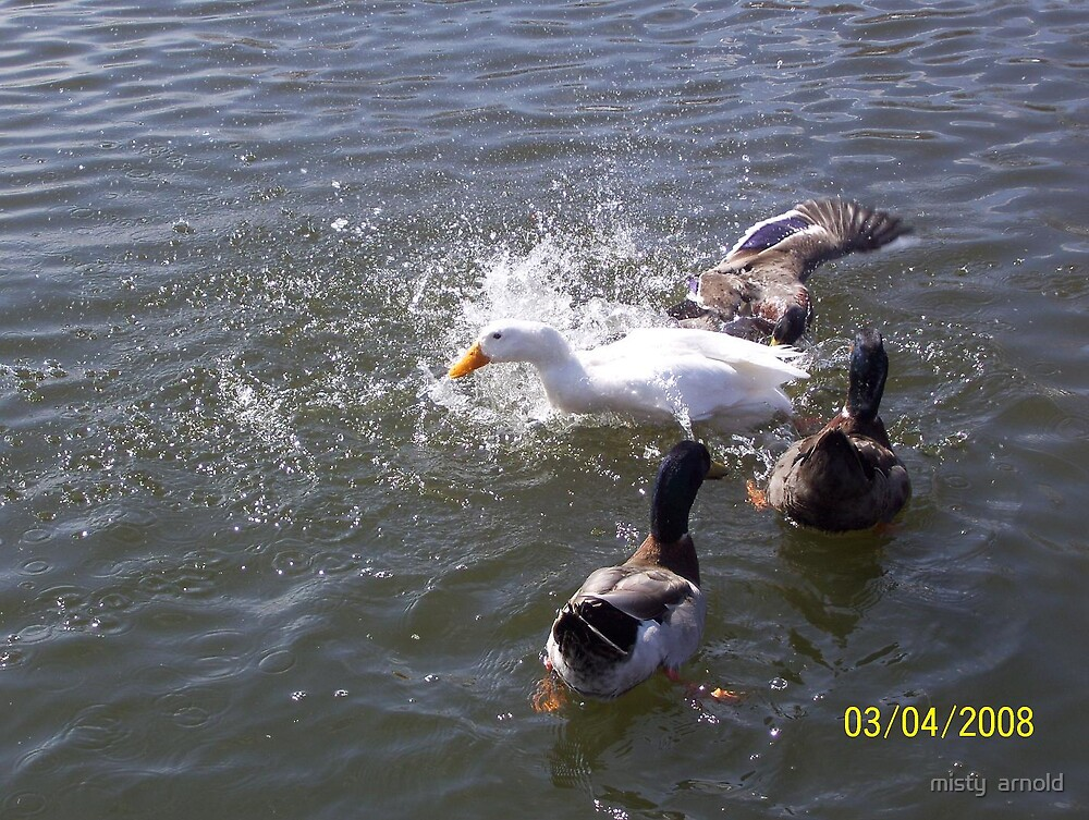 ducks playing in water by misty  arnold