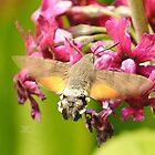 """ Humming-bird Hawk-moth "" by Richard Couchman"