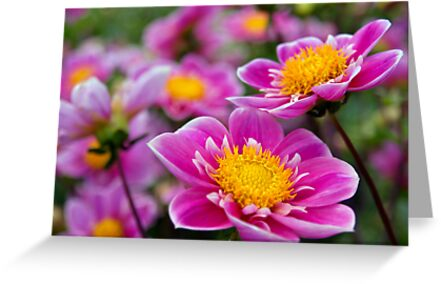 Pink Flowers by Donncha O Caoimh