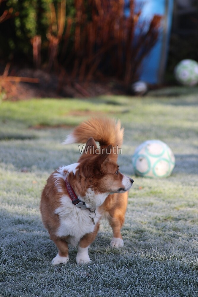 Corgi standing in a cold frosty garden by Wildruth