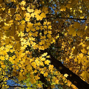 Golden Canopy - Look Up to the Trees and Enjoy Autumn - Vertical Right by GeorgiaM