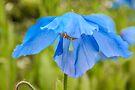 Poppy, Edinburgh Botanical Gardins, Scotland by Beth A.  Richardson