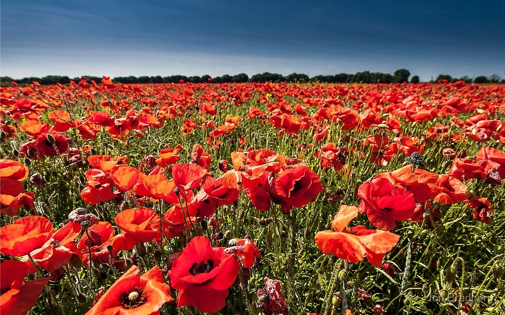 Poppies by Jon Bradbury