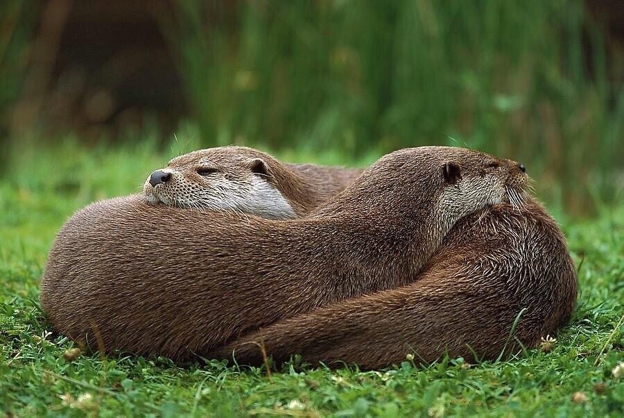 Cuddling Otters by shanndixon