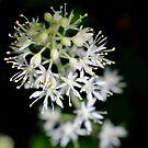 Foamflower by Kathleen Daley