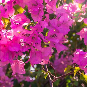 Pink Bougainvillea by Danielasphotos