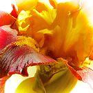 Iris Fiesta by Barbara  Brown