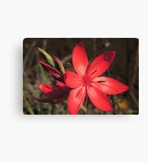 Red River Lily (Hesperantha coccinea) Canvas Print