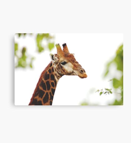 THE MATURED GIRAFFE Canvas Print