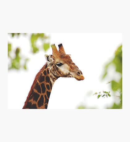 THE MATURED GIRAFFE Photographic Print
