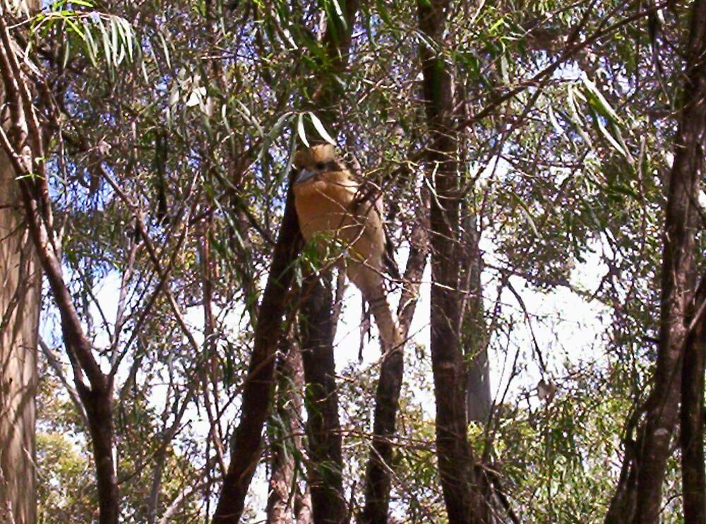 Kookaburra by becca86