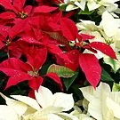 Poinsettias Sprinkled with Raindrops by SummerJade