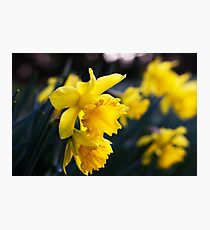 Daffodil Day Photographic Print