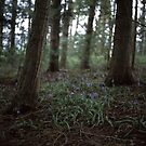 Bluebell Wood by Matthew Walters